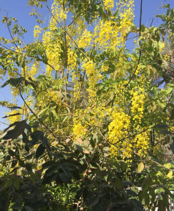 Photo Gallery: Beautiful Cassi Fistula flowers in full bloom in Bahrain