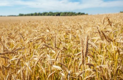 Saudi to import 1.74m tonnes of fodder barley