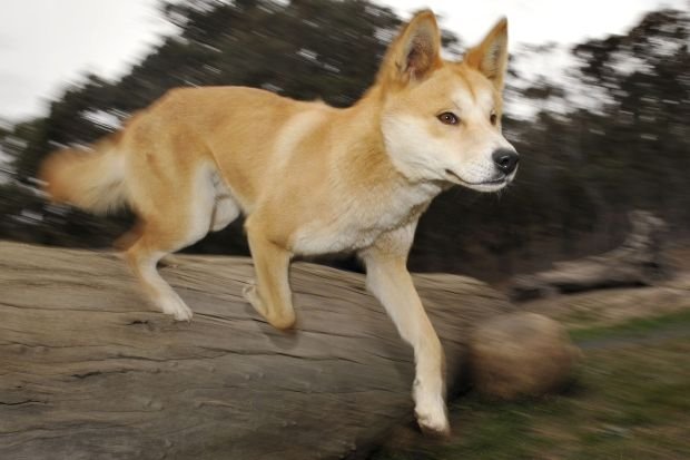 Woman savaged by pack of dingoes in Australia