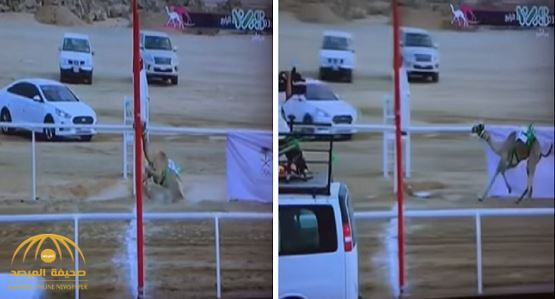 VIDEO: Camel falls at the finishing line, loses race