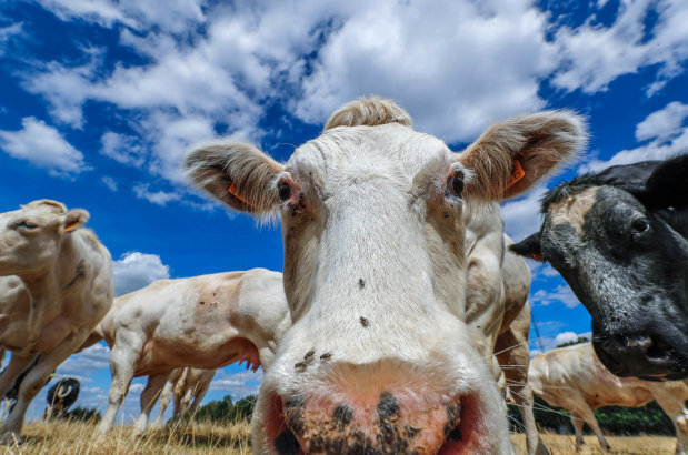 OMG: PICTURES: Cows help rehabilitate prisoners in Sweden