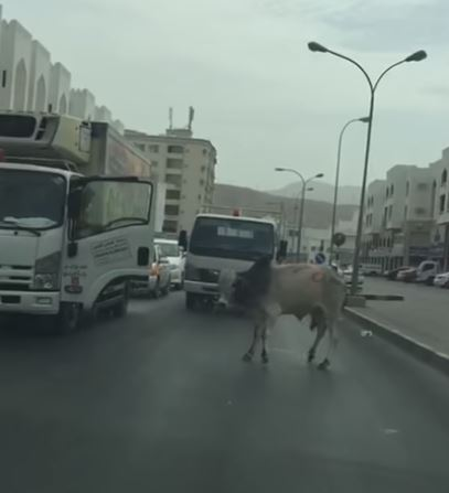 VIDEO: Man tames stray bull on Muscat road