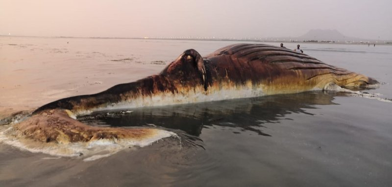 Huge humpback whale washes ashore in Asir