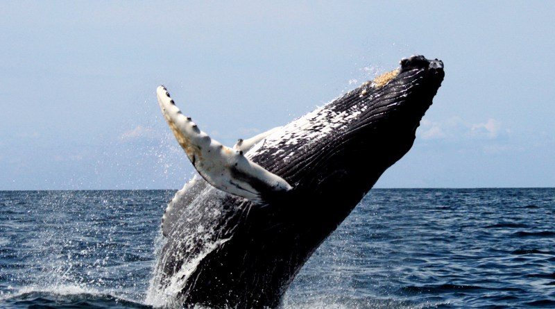 Colony of humpback whales dwindling in Oman