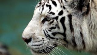 White tiger kills Japan zookeeper in rare attack