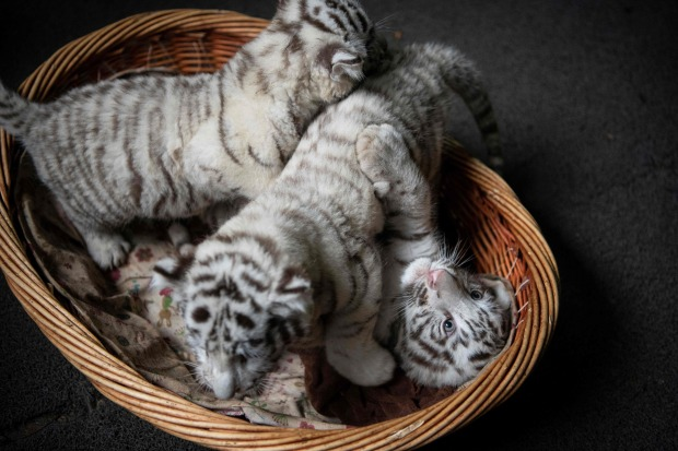 IN PICTURES: China purrs over white tiger triplets