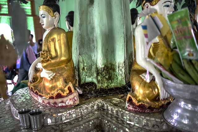 PHOTOS: Myanmar Buddhist temple now a nirvana for snakes