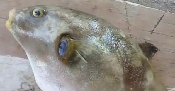 Six people suffer acute poisoning after eating puffer fish