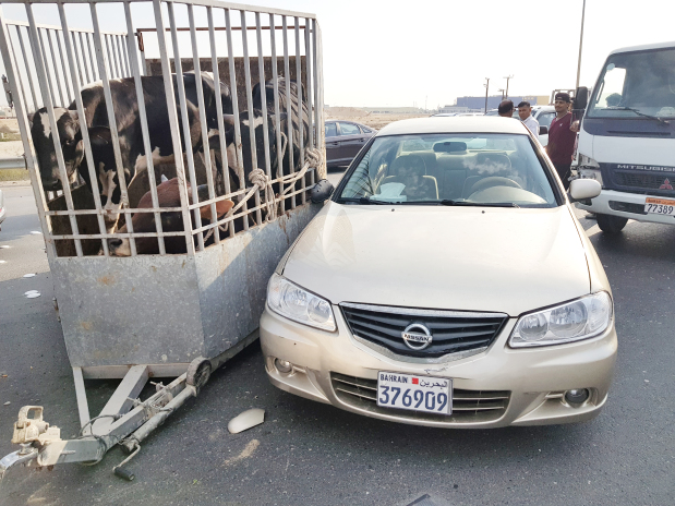 <p>A BULL was injured in a car accident yesterday afternoon.</p><p>Sources said the animal was being transported in a livestock trailer, along with another bull and a cow, when it collided with a car at around 3pm on Shaikh Isa Bin Salman Highway.</p><p>The animals were being towed by a pick-up driven by a Bahraini, but neither he nor the Asian driver of the car were injured.</p><p>It is believed to have happened when one of the vehicles changed lanes suddenly. The accident caused tailbacks on the highway, particularly as motorists slowed down to view the animals once the vehicles were moved to the side of the road.</p>