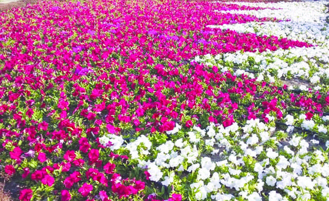 Northern Municipality planted 250,000 petunias in colours to form Bahrain's flag