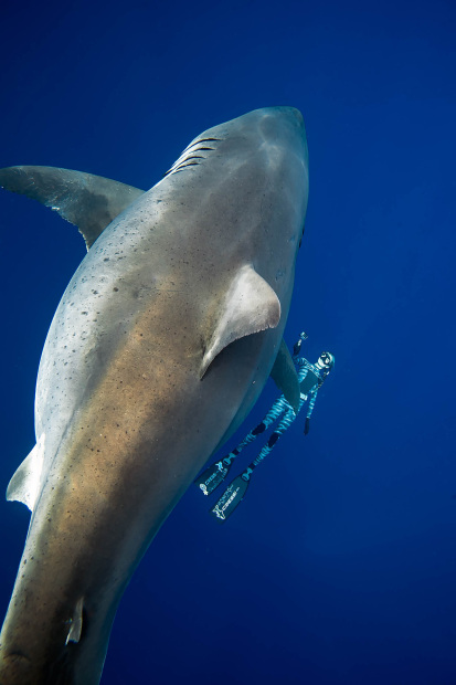 OMG: VIDEO: Divers spot giant white shark off Hawaii coast