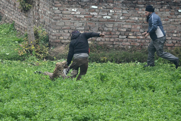 OMG: PICTURES: Marauding leopard causes panic in Indian city