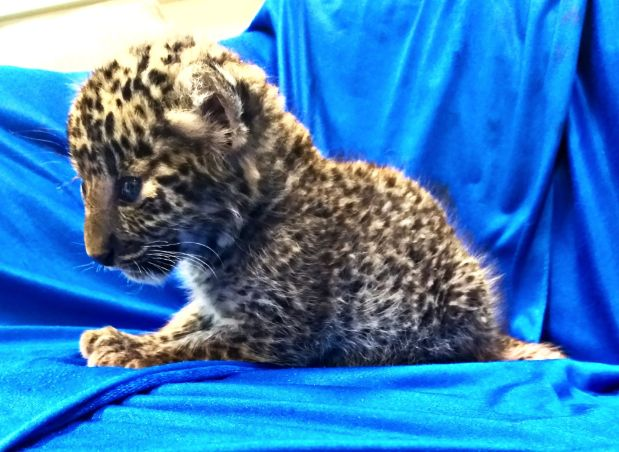 Man smuggles month-old leopard cub on plane to India