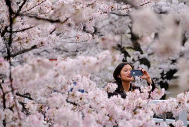 The art and science of Japan's cherry blossom forecast