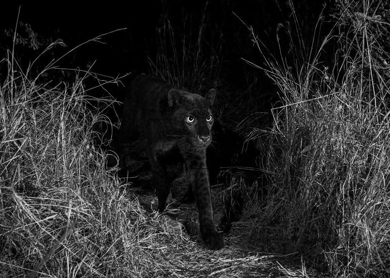 Photos: Black panther captured on camera in Africa for the first time in 100 years!