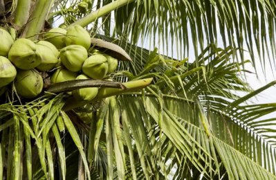Oman plans to set up major coconut plantation