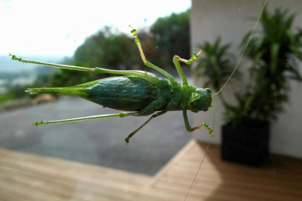 USA: Las Vegas suffers from grasshopper invasion