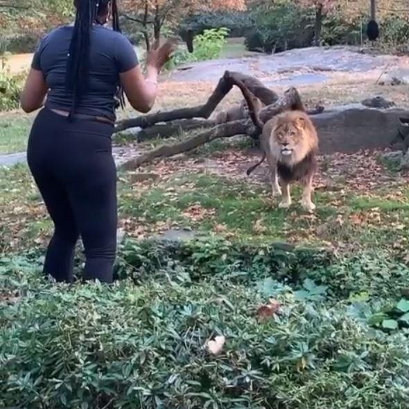 VIDEO: Woman enters lion's enclosure, mocks him and escapes unhurt