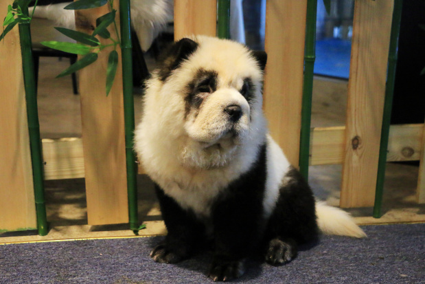 'Something novel': Chinese cafe dyes pups to look like pandas