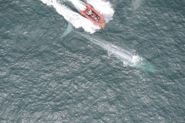 With suction cups and lots of luck, scientists measure blue whale's heart rate
