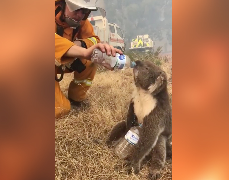 Exhausted koala drinks water offered from bottle by firefighter during bushfires