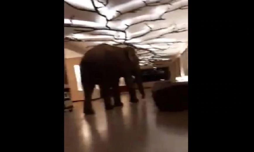 WATCH: Hilarious reactions pour in as video of elephant strolling in a hotel lobby goes viral