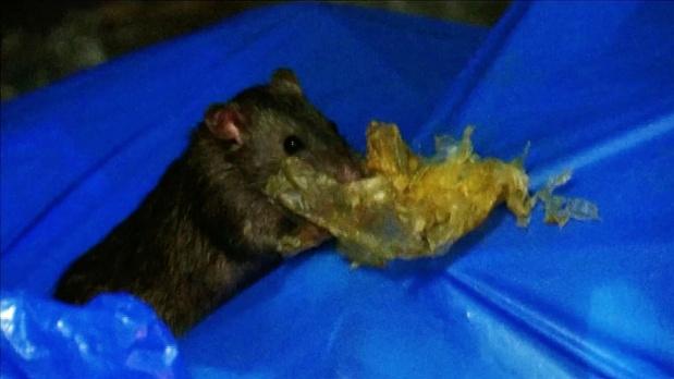 As Japan fights coronavirus with shutdowns, rats emerge onto deserted streets
