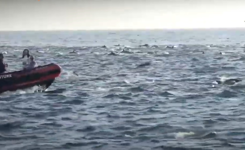 VIDEO: Hundreds of dolphins ride waves off Laguna Beach