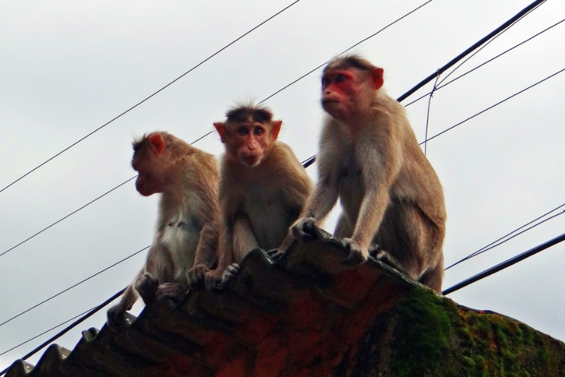 Monkeys attack medical official and steal Covid-19 blood samples in India