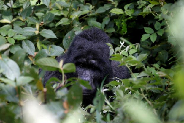 25-year-old Ugandan Gorilla Killed at UNESCO Park