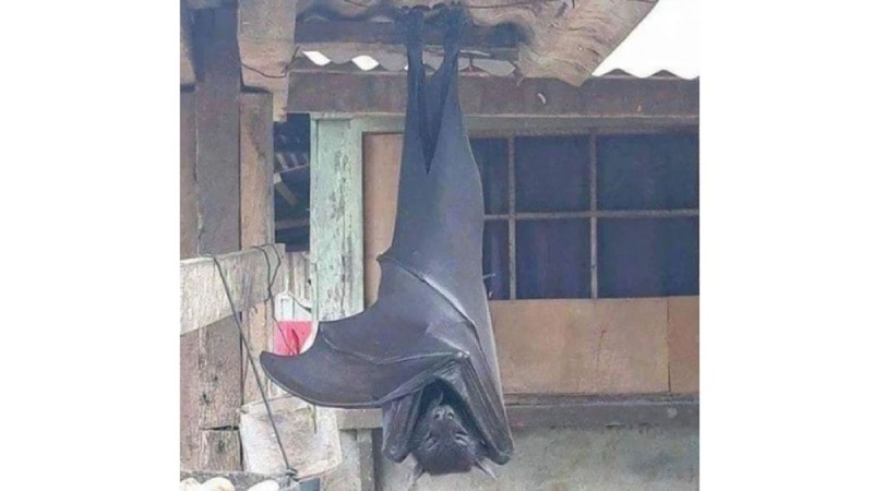 Picture of 'human-sized bat' from Philippines goes viral