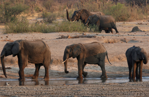 Zimbabwe plans to send dead elephants' brain tissue to US for toxin tests