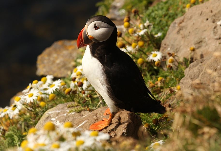 Ornithologist Stephen Kress used fake birds to restore puffin colonies