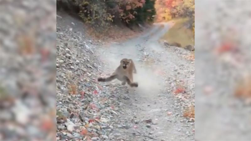 Jogger captures six minutes of horror after running over a cougar